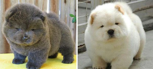 teddy bear puppies