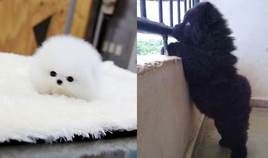 33 Adorably Chubby Puppies That Look Just Like Teddy Bears